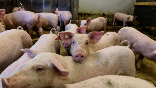 Съобщение до собствениците на домашни свине